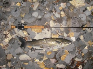 6lb Mullet on the fly