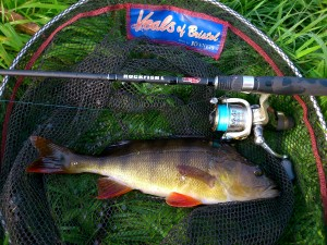 Perch caught on LRF sea fishing tackle