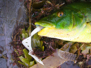 How to catch wrasse (2)