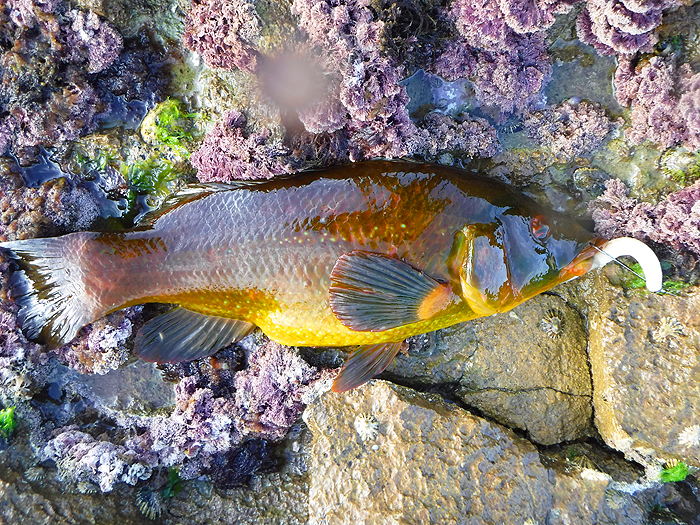 A golden wrasse completes the session